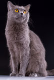 British cat on a black background Stock Photos