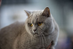 British cat blue portrait. Pedigree Cat Royalty Free Stock Image
