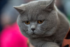 British cat blue portrait. Pedigree Cat Stock Image