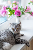 British cat breed Royalty Free Stock Photo