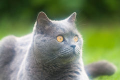 British cat breed. Pictured at the British breed cat Stock Photo