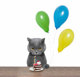 British cat celebrating birthday with piece of cake and balloons. Cat celebrating birthday with piece of cake and balloons -- isolated on white background Royalty Free Stock Image