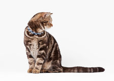 British cat chocolate marble Stock Photos