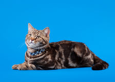 British cat chocolate marble Stock Photo