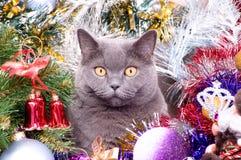The British cat Christmas Stock Photo