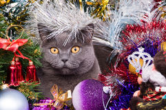 The British cat Christmas Stock Photos