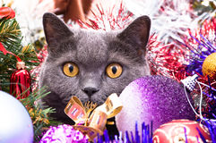 The British cat Christmas Royalty Free Stock Photos
