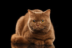 British Cat Cinnamon color Lying, Curious Looks, Isolated Black Background Royalty Free Stock Images
