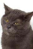 British cat. Royalty Free Stock Photo