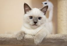 British cat - color blue point. British cat - rare color blue point Royalty Free Stock Photography