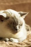 British cat color blue-point Stock Images
