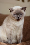 British cat color blue-point Royalty Free Stock Photography