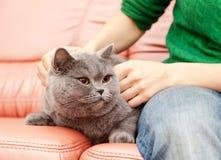 British cat Stock Photography
