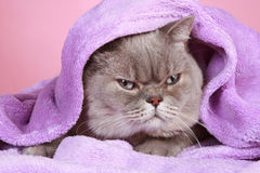British cat covered with blanket lying Stock Photography