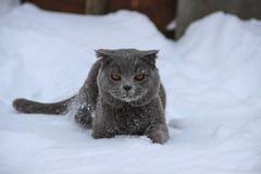 A British cat creeps through the snow stock image