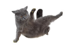 British cat dancing breakdance. Isolated on white Stock Photo