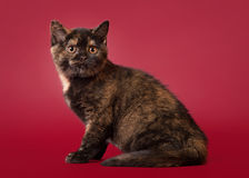Small british cat on dark red background Stock Photos