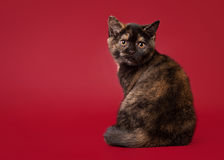 Small british cat on dark red background Royalty Free Stock Photography