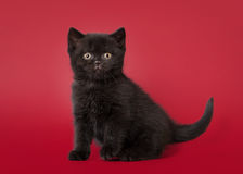 Small british cat on dark red background Stock Image