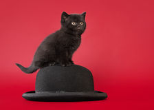 British cat on dark red background Stock Photos