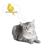 British cat dreams of a bird. Isolated on white background Royalty Free Stock Photo