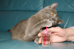 British cat with a drink Stock Photography