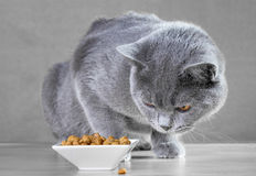 British  cat eats cat food. British Blue cat eats cat food Royalty Free Stock Image