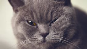 British cat eyes stock footage