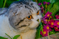 British cat. In flowers. animal and nature Stock Photography