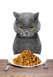 British cat is going to eat. British cat is hungry and going to eat Stock Image