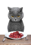 British cat is going to eat meat. British cat is hungry and going to eat meat Stock Image