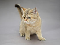 British cat golden color Stock Photos