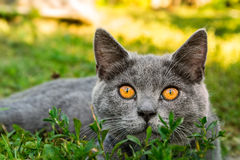 British cat with on the grass Stock Photography