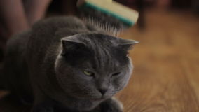 British cat grooming