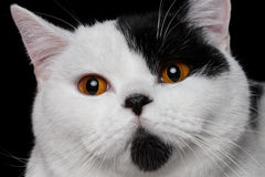 British cat Harlequin color Royalty Free Stock Photography