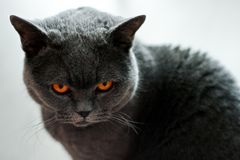 Free British Cat Is Looking Angry At You Stock Photos - 103619413