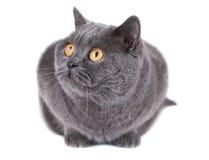 British cat isolated on white Stock Image