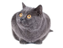British cat isolated on white Stock Images