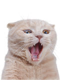 British cat isolated on white Stock Photos