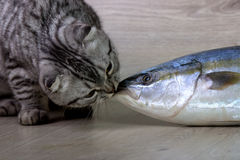 British cat. Kisses tuna fish. On the background of wood Stock Photo
