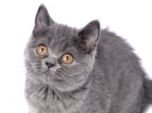 British cat - kitten. Royalty Free Stock Images
