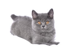 British cat - kitten. Royalty Free Stock Photos