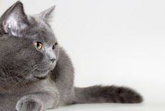 British cat Royalty Free Stock Image
