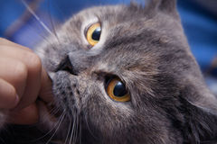 British cat lightly biting your finger man Royalty Free Stock Photos