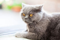 British cat listening to something Stock Image