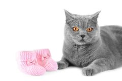 British cat and little baby shoes on isolation stock photos