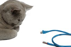 British cat look at an object. Watching cable on white background Stock Photo