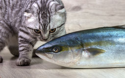 British cat. Looking at fish tuna. On the background of wood Stock Photography