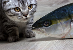 British cat. Looking at fish tuna. On the background of wood Stock Photo