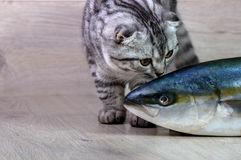 British cat. Looking at fish tuna. On the background of wood Royalty Free Stock Photography